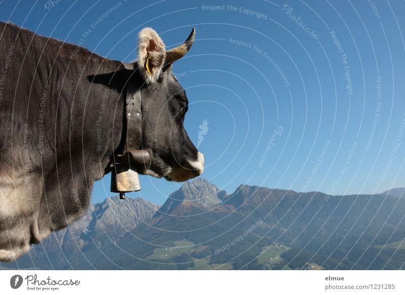 Fernweh Natur Landschaft Wolkenloser Himmel Schönes Wetter Berge u. Gebirge Südtirol Nutztier Kuh Grauvieh 1 Tier beobachten genießen Blick ästhetisch elegant