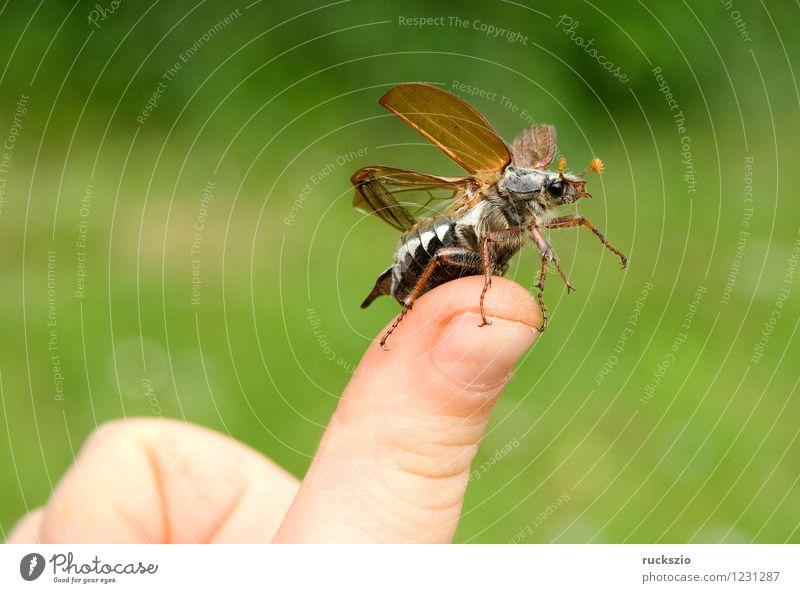 Maikaefer; Melolontha; Startend, Natur Tier Beginn Insekt Käfer Malediven Maikäfer