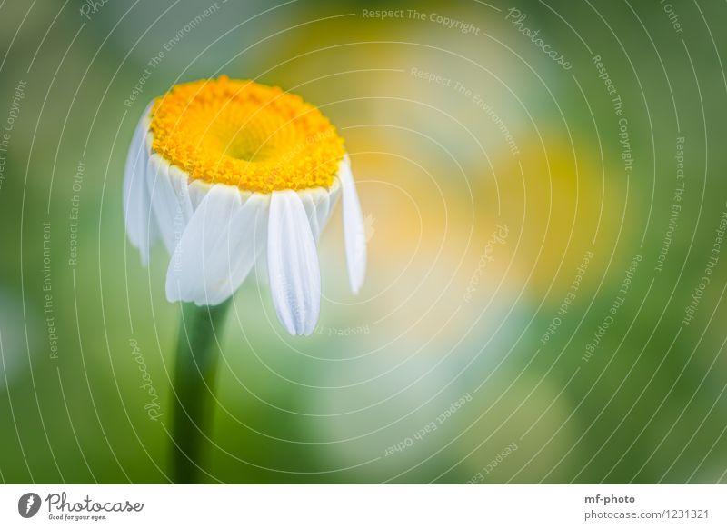 Margerite Natur Pflanze grün Sommer weiß Blume gelb Wiese Garten Park