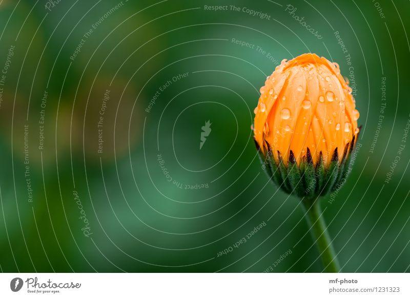 Ringelblume Natur Pflanze Sommer Regen Blume Blüte Park Wiese grün orange Farbfoto Außenaufnahme Menschenleer Morgen