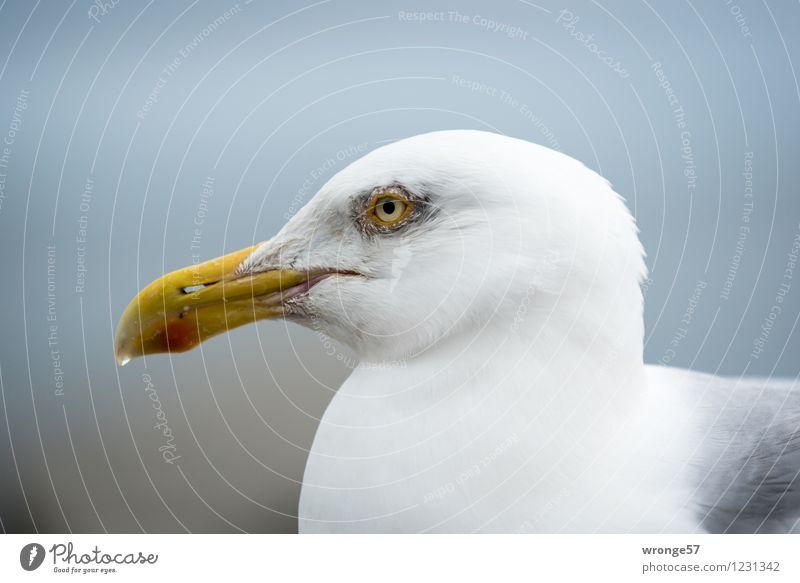 Tropfschnabel Tier Wildtier Vogel Tiergesicht Möwe Möwenvögel 1 Coolness maritim blau gelb grau weiß Kopf Profil Nahaufnahme Farbfoto Gedeckte Farben