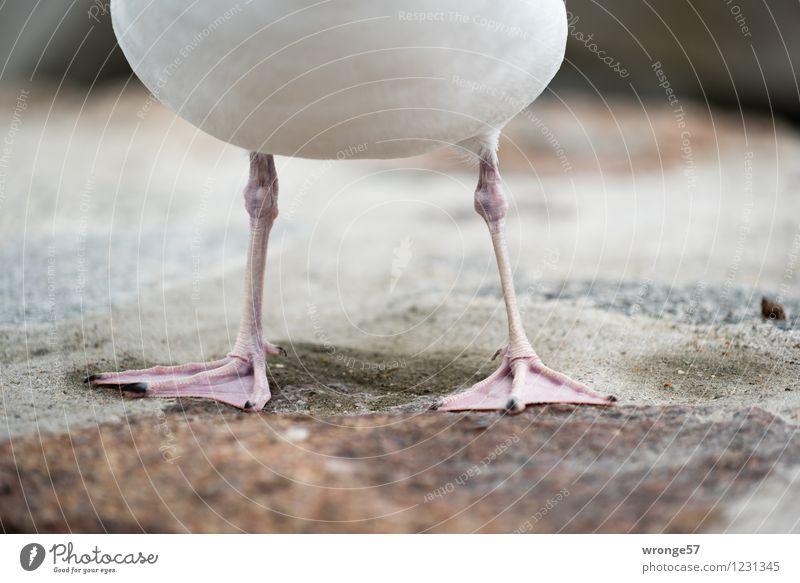 Möwenfüße Sommer weiß Tier Umwelt natürlich grau braun Vogel rosa Wildtier stehen Tierfuß warten nah dünn sportlich