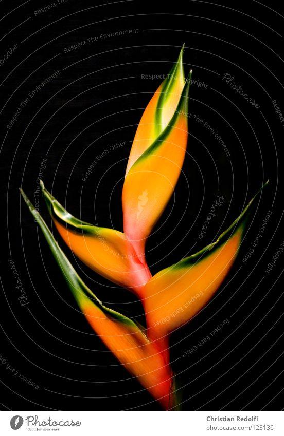 schönen Valentin Blume Blüte Pflanze helekonie heleconie exotisch helikonie helikonia helikoniaceae schnittblume Urwald topen helikonia spec.