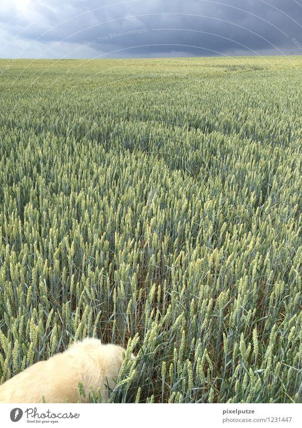 Ein Hund im Kornfeld 3 Natur Pflanze Landschaft Tier Feld Spaziergang Haustier Nutzpflanze Gassi gehen