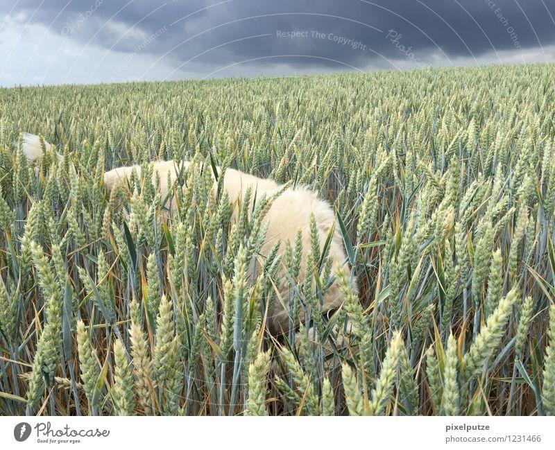 Ein Hund im Kornfeld 4 Natur Pflanze Landschaft Tier Feld Spaziergang Haustier Fell Nutzpflanze Gewitterwolken Gassi gehen