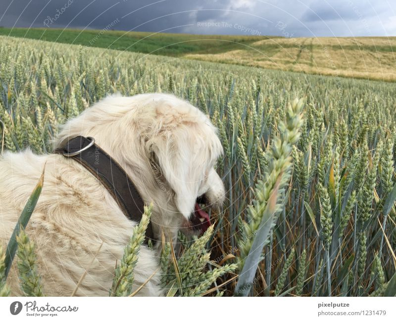 Ein Hund im Kornfeld 2 Natur Landschaft Pflanze Nutzpflanze Feld Tier Haustier 1 natürlich Gassi gehen Spaziergang Hundehalsband Farbfoto Außenaufnahme