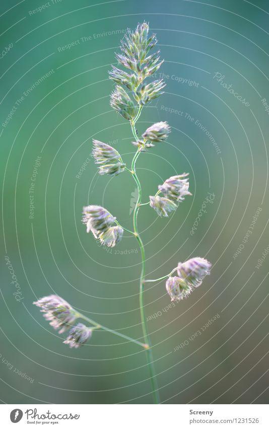 Hin und her Natur Pflanze grün Sommer Frühling Wiese Gras natürlich klein ästhetisch zart Leichtigkeit Grünpflanze zerbrechlich Wildpflanze