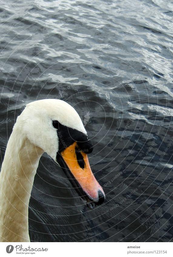 is was ?! Wasser weiß schön Sommer Tier schwarz See orange Vogel Fluss Wahrzeichen Hals Ente Schnabel Schwan Alster