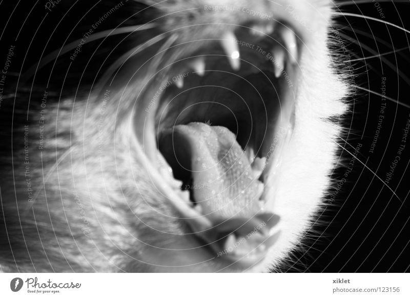 Katze offen Tier Säugetier Langeweile Schwarzweißfoto Mund Zähne beißen fauchen Gebiss gefährlich drohen Zunge gähnen Müdigkeit
