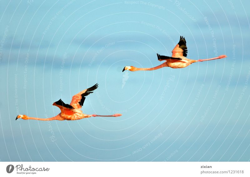 größere Flamingos Tier Wildtier Vogel Fliege Flügel 2 Tierpaar fliegen Jagd Blick elegant natürlich wild mehrfarbig rot schwarz Farbfoto Menschenleer Morgen Tag