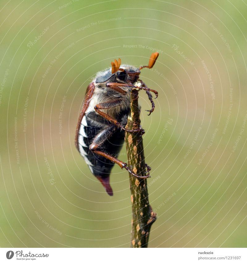Maikaefer; Melolontha; Natur Tier Insekt krabbeln Käfer Malediven Maikäfer