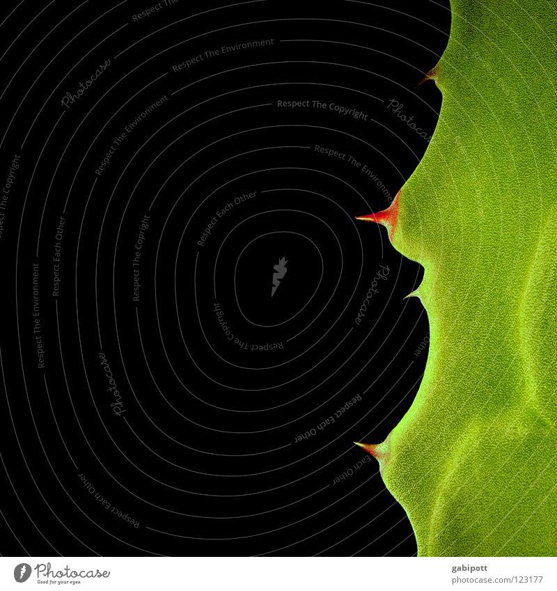 madame succulenta grün schön rot Pflanze schwarz bedrohlich Spitze Schmerz dick Held saftig König Waffe Anmut Stachel erhaben