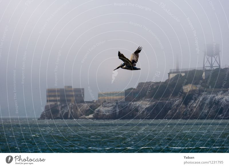 Alcatraz - Pelikan vor Pelikaninsel Ferien & Urlaub & Reisen Meer Tier Ferne fliegen Vogel wild Tourismus Wildtier Insel Ausflug Sightseeing Städtereise Pelikan