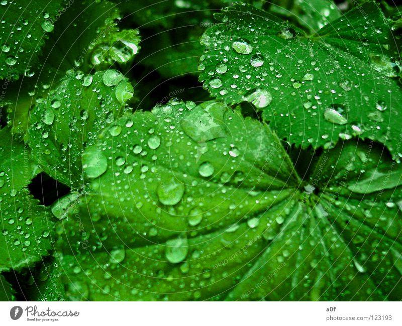 drops grün Blume Regen Wassertropfen nass Frauenmantel