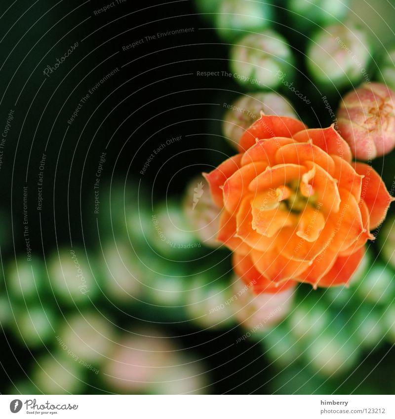 point of view V Blume Blüte gelb Blütenblatt Botanik Sommer Frühling frisch Wachstum Pflanze rot Makroaufnahme Nahaufnahme flower Detailaufnahme Blütenknospen