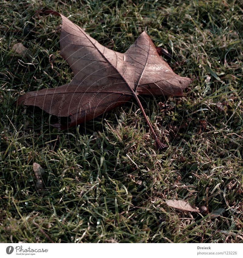 Chorn-Bhorn=Ahorn Dreieck grün Gras Blatt Baum Pflanze Blume Blüte braun weiß Wiese Halm Umwelt Herbst kalt Jahreszeiten Winter frieren Stengel Baumrinde