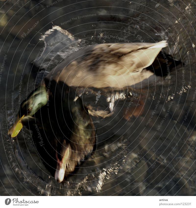 DUCK Vogel duck lake goose bird water fly sea collision