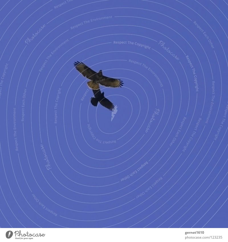 Stinkstiefel Himmel blau schwarz Luft Vogel fliegen Feder Sportveranstaltung Schnabel Konkurrenz Defensive Angriff Krähe Greifvogel Bussard