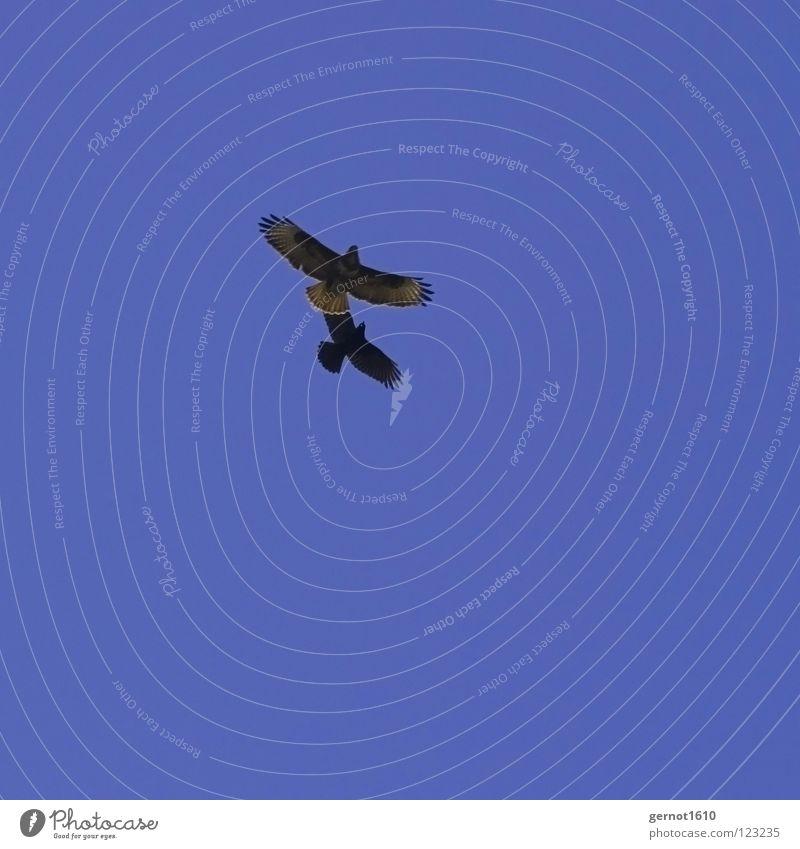 Stinkstiefel Krähe Bussard Angriff Defensive Vogel Greifvogel schwarz Luft Schnabel Sportveranstaltung Konkurrenz blau Himmel Kulturfolger fliegen Luftkampf