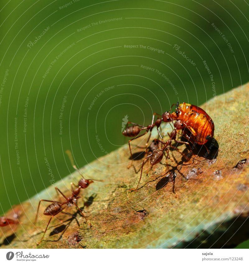 abtransport Güterverkehr & Logistik Tier Urwald Käfer Tiergruppe Fressen gehen tragen Zusammensein grün rot Hilfsbereitschaft Tod Appetit & Hunger Mobilität