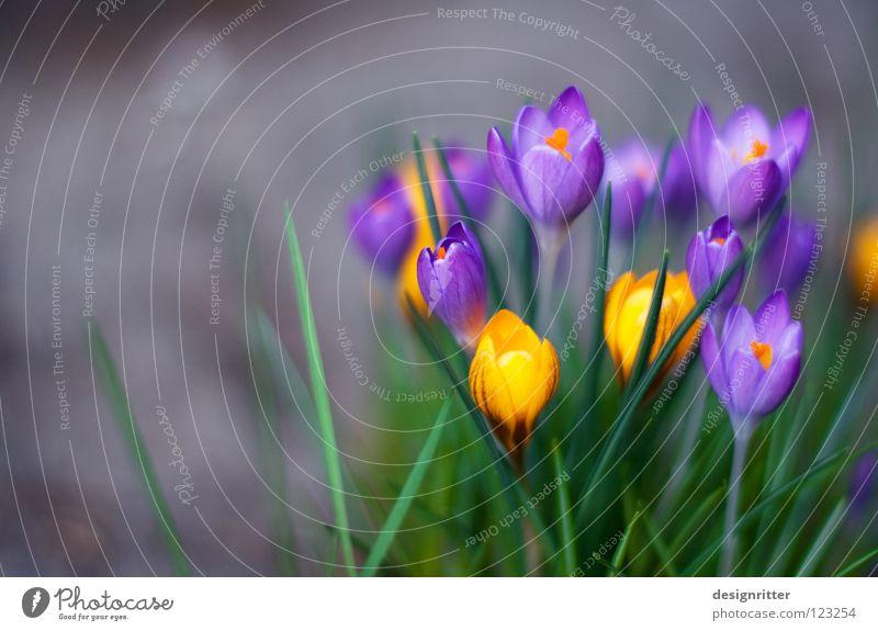 Frühaufsteher Krokusse Frühblüher Frühling Winter Blume Blüte Wachstum gedeihen Leben mehrfarbig Physik aufwachen aufstehen Morgen springen live Pflanze Blühend