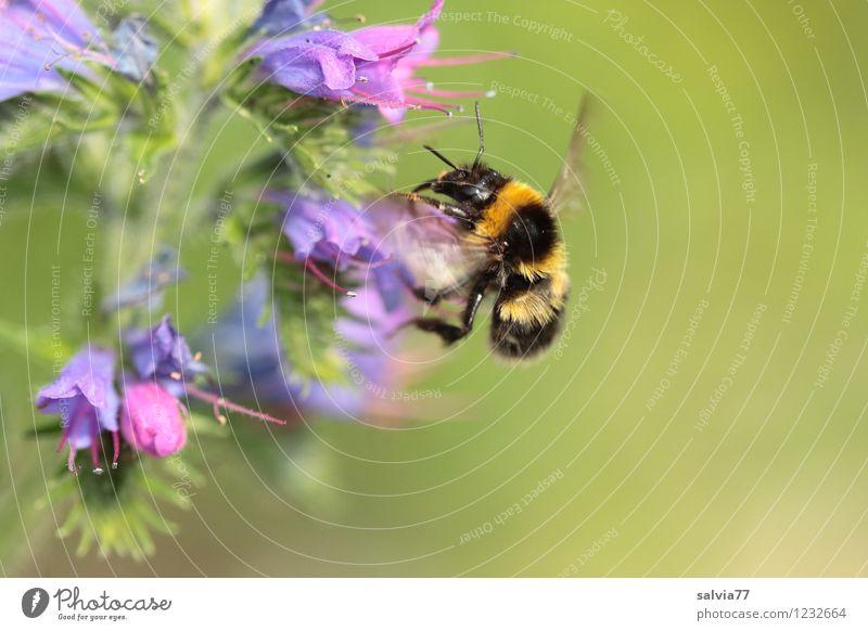 Erdhummel Natur blau Pflanze grün Sommer Blume Tier Umwelt Blüte klein Garten fliegen Wildtier Lebensfreude Blühend niedlich