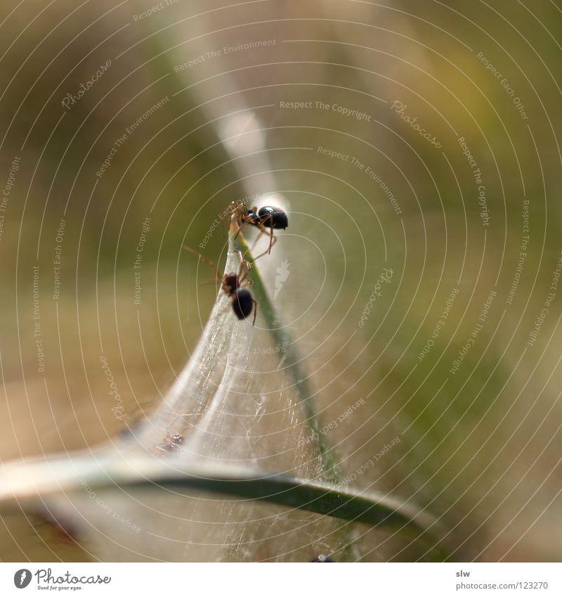 Spinnen-Duo Spinnennetz 2 Unschärfe Halm Makroaufnahme Nahaufnahme Netz Minispinne Gras. Grasspinne gewebt