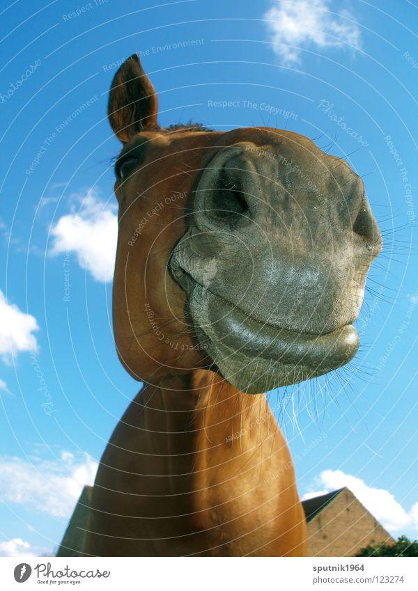 ein' vom pferd Pferd Tier Schnauze braun Nüstern Säugetier lustig Karikatur Amerika Bauernhof