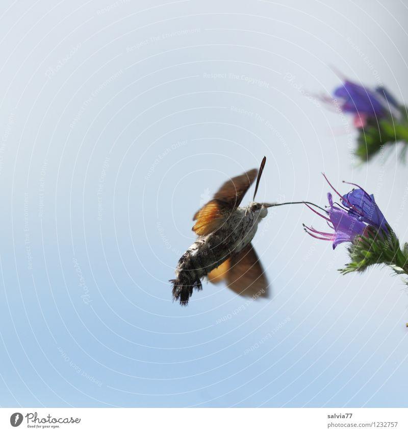 Volltanken Natur blau Sommer Tier Umwelt Blüte klein fliegen frei Kraft Wildtier Geschwindigkeit Flügel Blühend Fitness sportlich