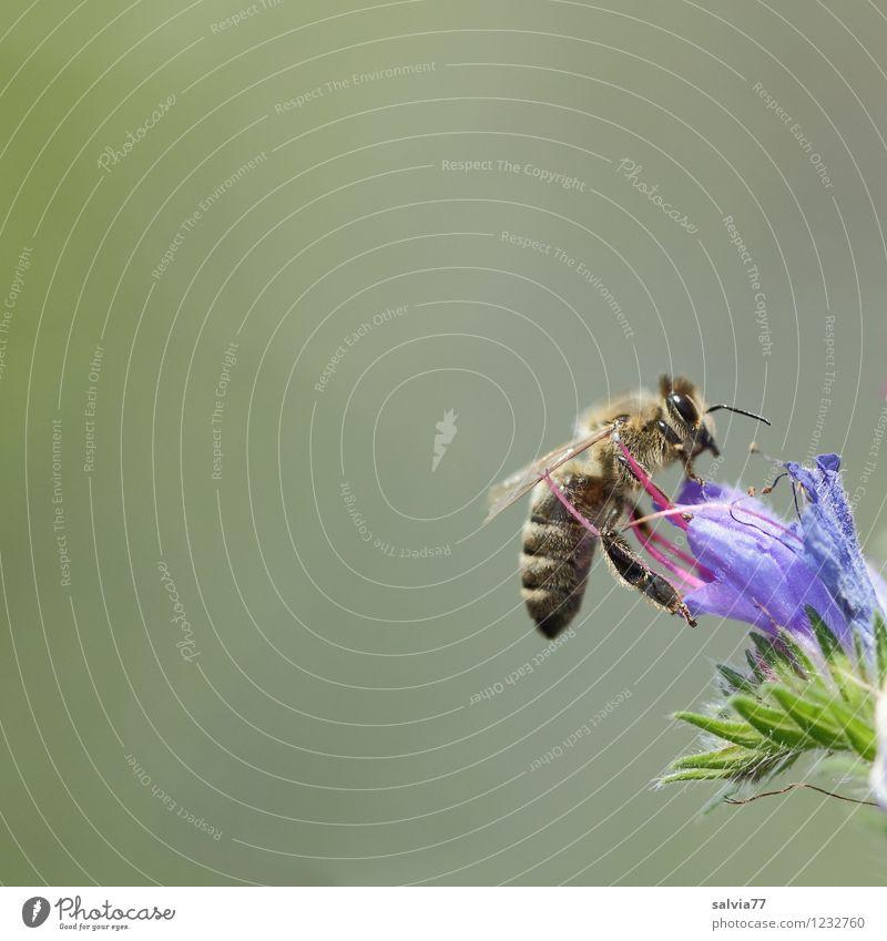 Honigbiene Natur blau Pflanze grün Sommer Tier Umwelt Leben Blüte Gesundheit grau klein Garten fliegen Arbeit & Erwerbstätigkeit Wildtier