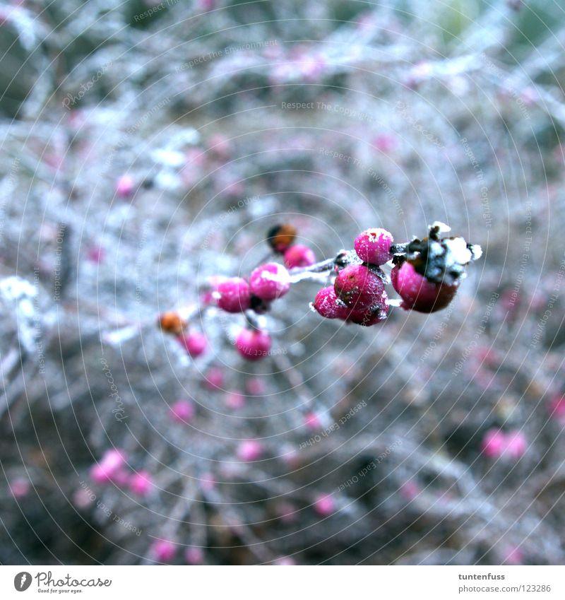 Frühlingserwachen weiß Winter Schnee rosa Sträucher Eis Beeren Frucht Raureif Mannheim