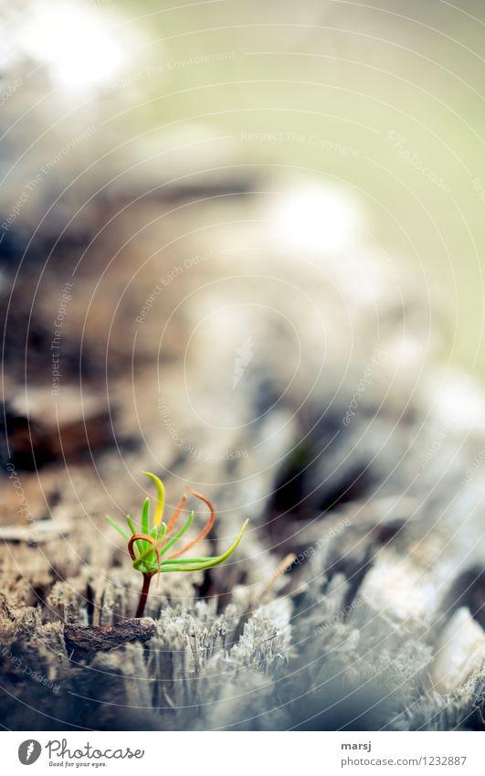 Aus alt mach neu Natur Baum Jungpflanze Baumschössling Lärche Tannennadel Wachstum dünn authentisch einfach klein natürlich niedlich grün Frühlingsgefühle Mut