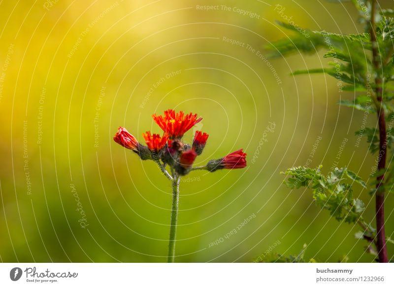 Blume im warmen Licht Natur Pflanze grün rot Herbst Deutschland Unkraut Cannabis September 2014