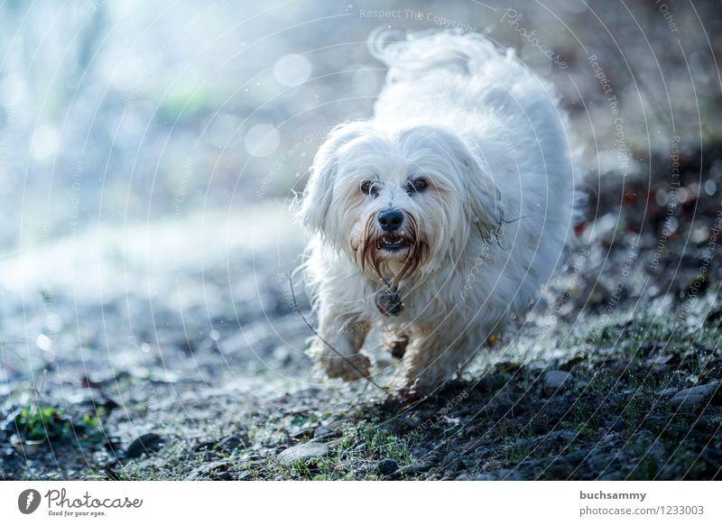 Action am Morgen Tier Gras Fell langhaarig Haustier Hund 1 klein blau weiß Bischon Haushund Havaneser rennen action Farbfoto Außenaufnahme Menschenleer Licht
