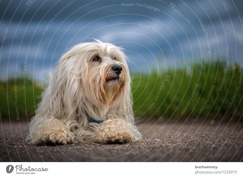Havaneser Natur Tier Wiese langhaarig Haustier Hund 1 blau grün weiß Mika Deutschland Farbfoto Außenaufnahme Menschenleer Textfreiraum rechts Textfreiraum oben