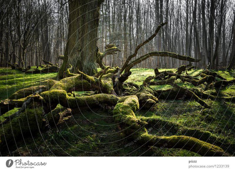 Feenwald Umwelt Natur Landschaft Pflanze Frühling Baum Moos Laubbaum Eiche Wurzel Wurzelbildung Wald bedrohlich dunkel gruselig natürlich wild grün Gefühle