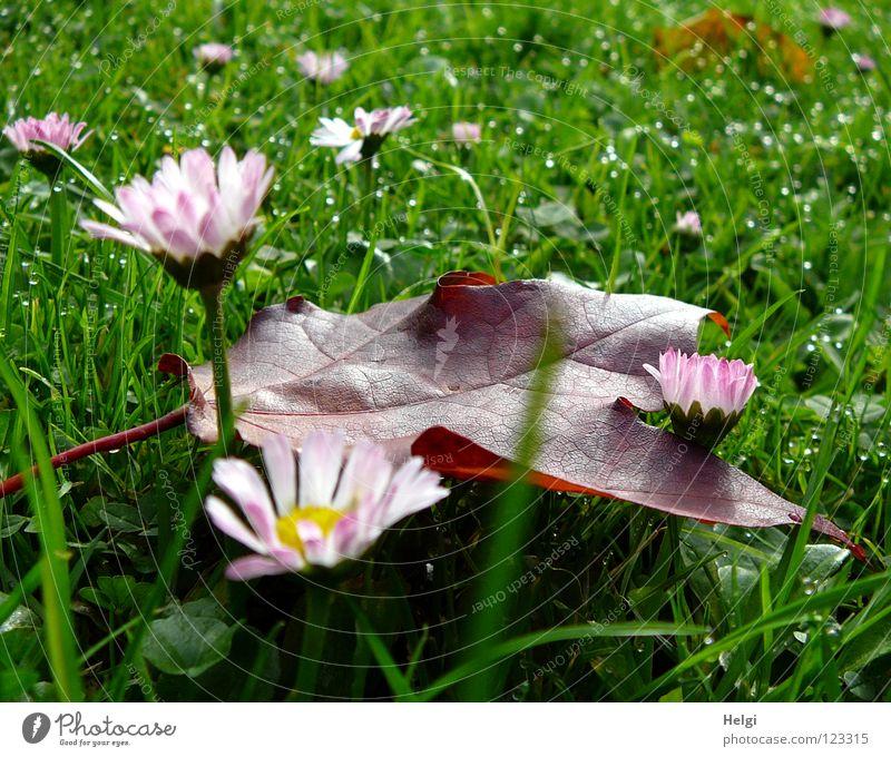 Herbst-Nachlese... Blatt Ahorn Ahornblatt rot mehrfarbig Wiese Gras Halm vertikal stehen Morgen Tau nass Gefäße grün braun gelb Blume Gänseblümchen Blütenblatt