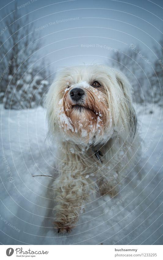 Schneehund Hund Natur weiß Tier Winter klein Schneefall Eis Frost Fell langhaarig Haustier schlechtes Wetter Haushund
