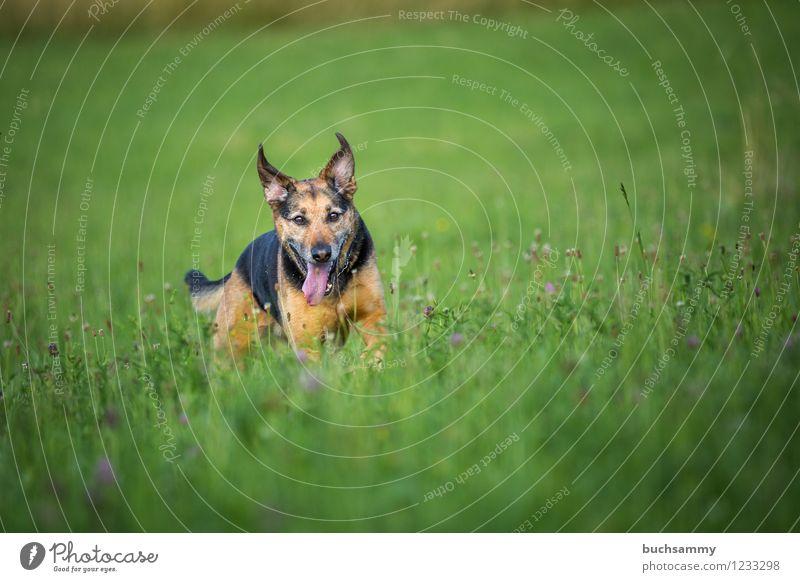 Glücklicher Hund Wasser Tier Haustier 1 braun grün schwarz Mischling Rottweiler Schäferhund Farbfoto mehrfarbig Außenaufnahme Menschenleer Textfreiraum oben