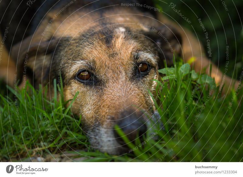 Ruhe Gras Haustier Hund 1 Tier braun grün 2015 Augen Europa Kira Rottweiler Schäferhund deutschland dog eyes Farbfoto Außenaufnahme Textfreiraum rechts