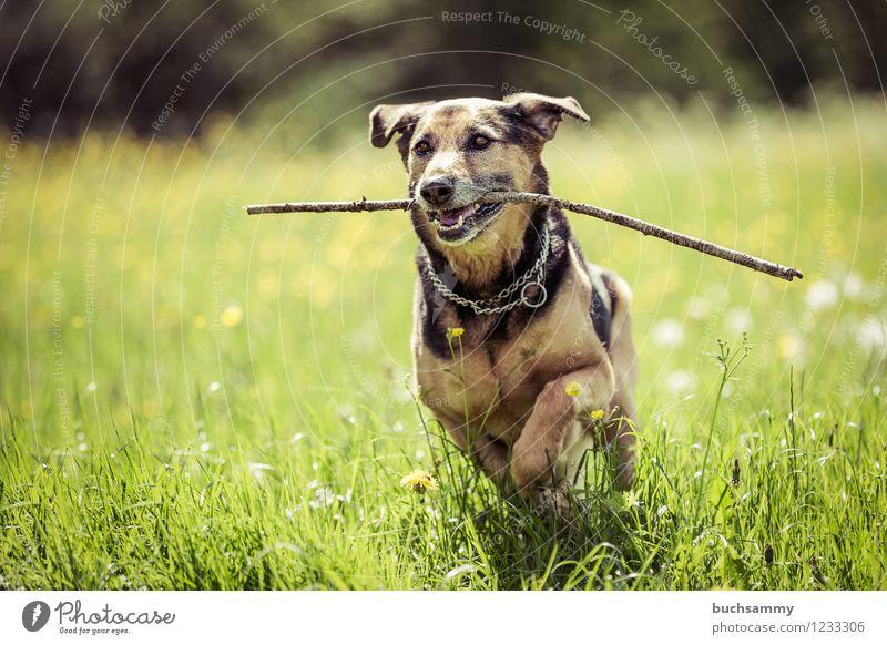 Glücklicher Hund Hund grün Gras Deutschland braun Aktion Europa Haustier Schäferhund Rottweiler