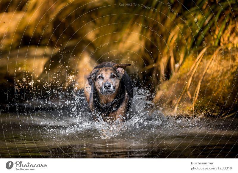 Hund im Wasser Freude Spielen Wassertropfen Frühling Haustier 1 Tier springen nass Geschwindigkeit Mischling Rottweiler Schäferhund Deutschland Farbfoto