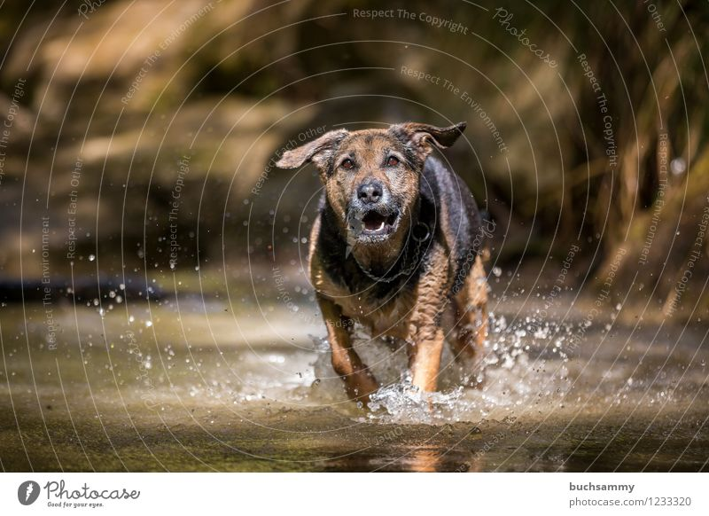 Hund im Wasser Freude Spielen Wassertropfen Frühling Tier Haustier 1 springen nass Geschwindigkeit Haushund Mischling Rottweiler Schäferhund Sonntag Farbfoto