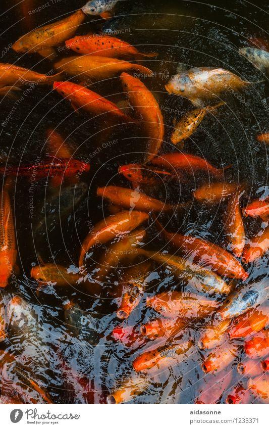 Koi Tier Schwimmen & Baden Fisch Schwarm Aquarium Tierfamilie