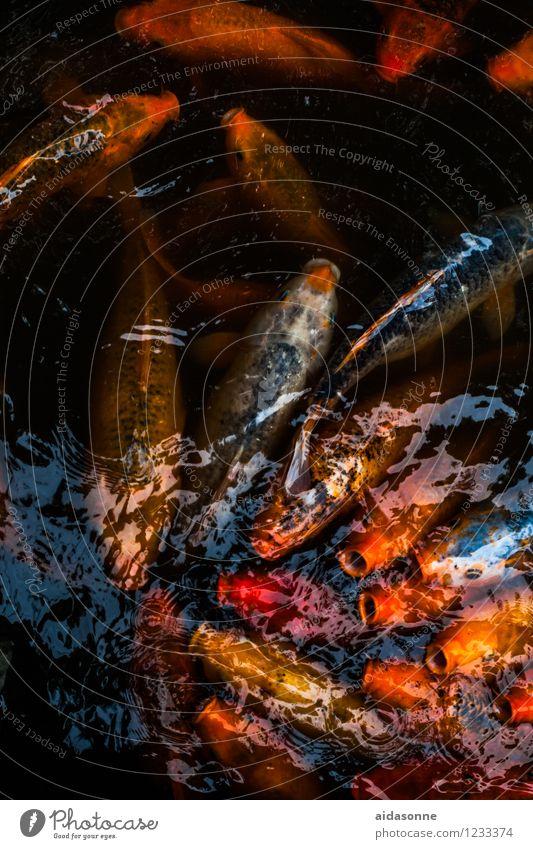 kois Tier Schwimmen & Baden Fisch Schwarm Aquarium Koi Tierfamilie
