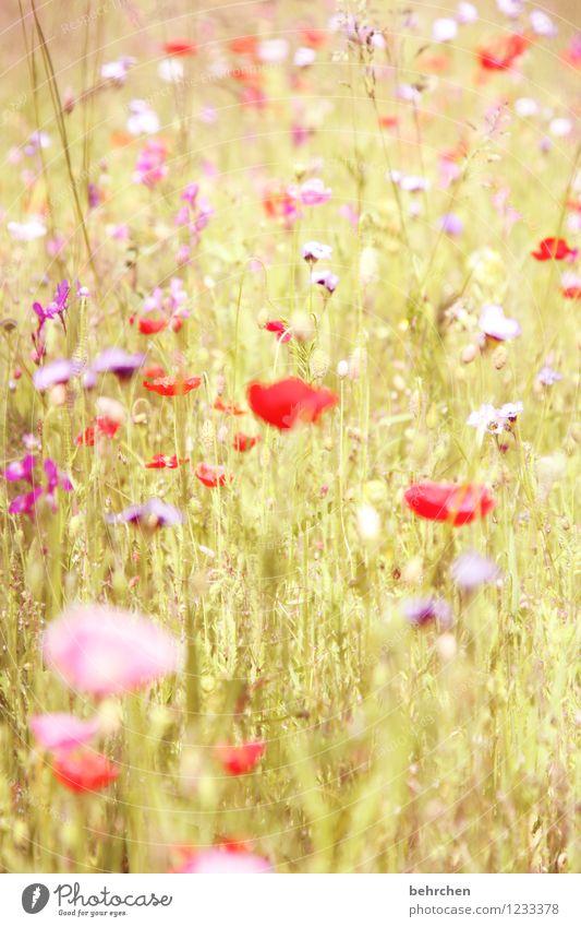 sommerliebe Natur Pflanze Frühling Sommer Schönes Wetter Blume Gras Blatt Blüte Wildpflanze Mohn Garten Park Wiese Feld Blühend verblüht Wachstum Duft schön