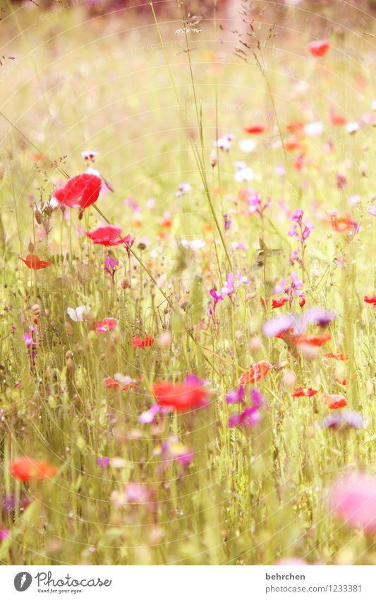 mo(h)ntag halt Natur Pflanze Frühling Sommer Schönes Wetter Blume Gras Blatt Blüte Wildpflanze Mohn Garten Park Wiese Blühend verblüht Wachstum frisch schön