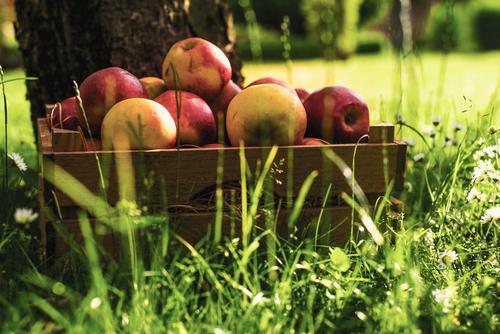 Erntezeit Pflanze grün Sommer Sonne rot Umwelt gelb Gras Gesundheit Lebensmittel Frucht frisch Ernährung lecker Bioprodukte Apfel