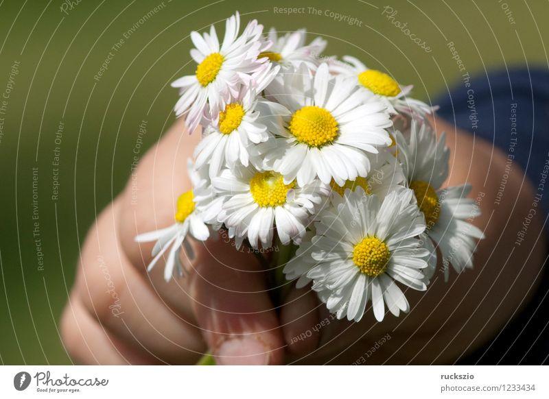 gaenseblumenstraesschen, hand, Bellis; Perennis Natur Pflanze Blume Hand Blüte Wiese Blühend Alternativmedizin Wildpflanze