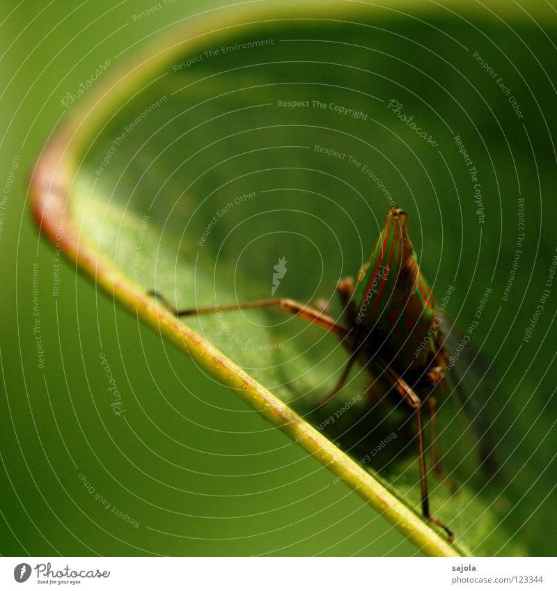 hopadihop grün Tier Blatt Auge Kopf Beine orange sitzen warten Spitze Tiergesicht Asien Insekt Urwald gestreift Käfer